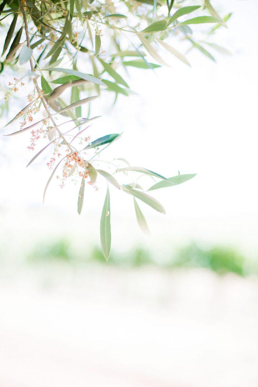 Olive leaves down a vineyard